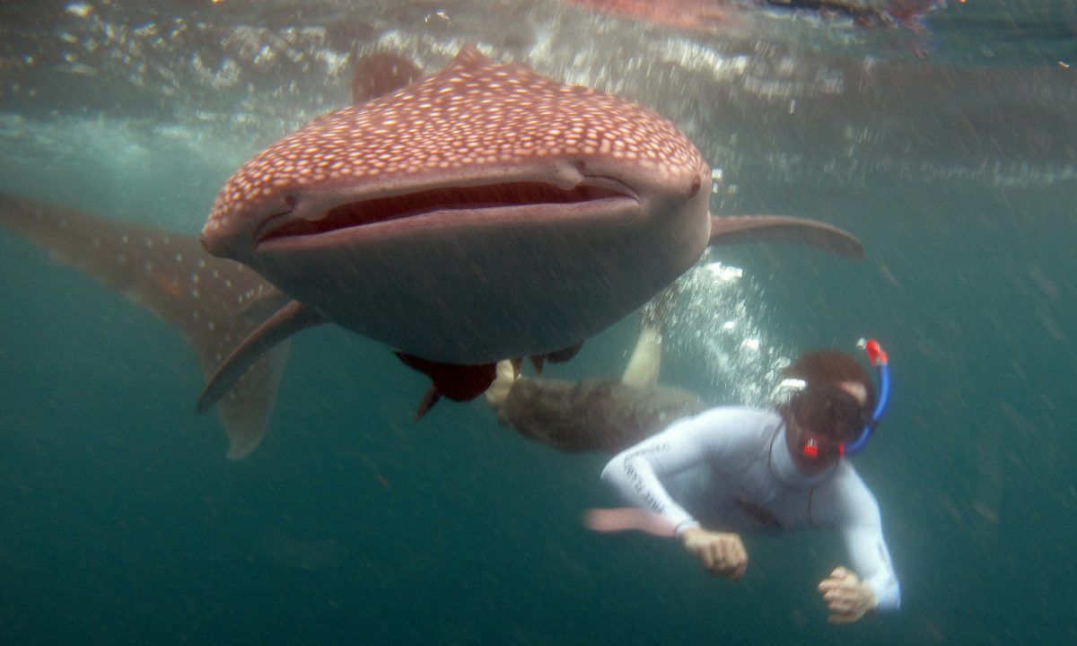 Swimming with a whale shark.